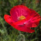 Red Poppy #4 by Cecilia Carr