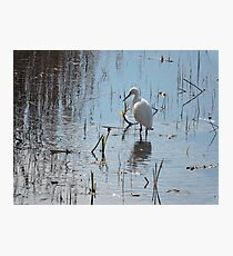 Little Egret: Grace  Photographic Print