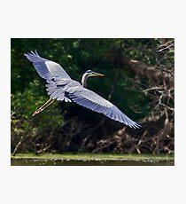 Great Heron Photographic Print