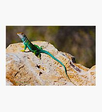 Collared Lizard Photographic Print