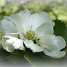 Apple Blossom  by Elaine Bawden