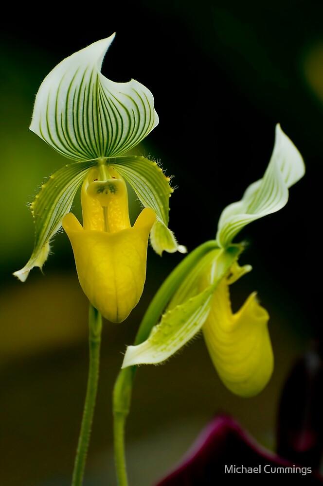 Paphiopedilum Orchid by Michael Cummings