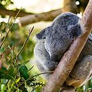Koala by Celine Dubois