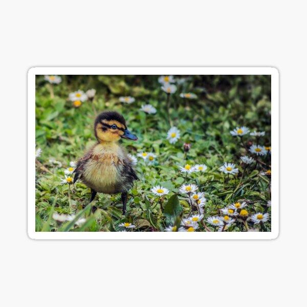 Mallard Duckling Sticker