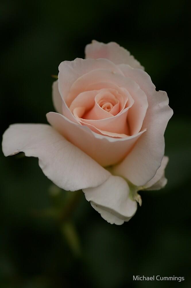 Red Rose by Michael Cummings