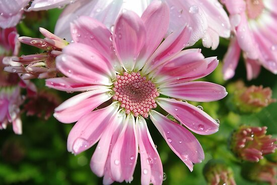Pink petals by Kerry  Hill