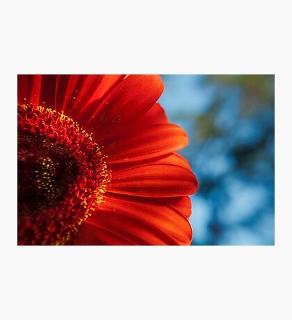 Red Gerbera  Photographic Print