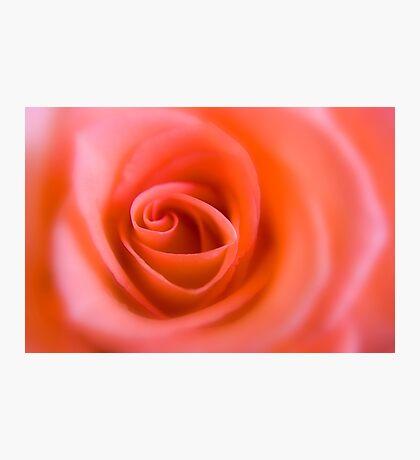 Pink Rose 2 Photographic Print