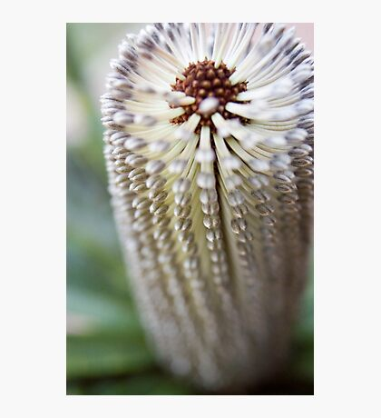 Banksia 3 Photographic Print
