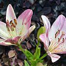 Hybrid Lilies  by crimsontideguy