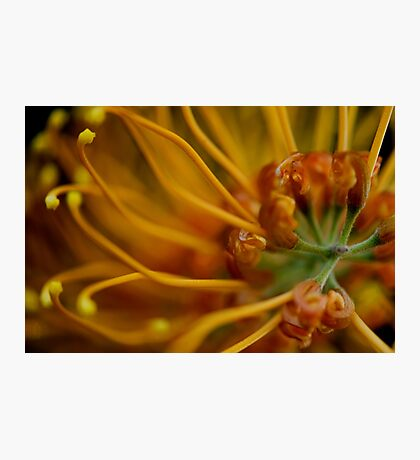 Orange Grevillea Photographic Print