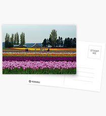 Dutch Tulips in America Postcards