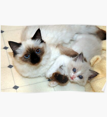 Ragdoll Mom and baby playing Poster