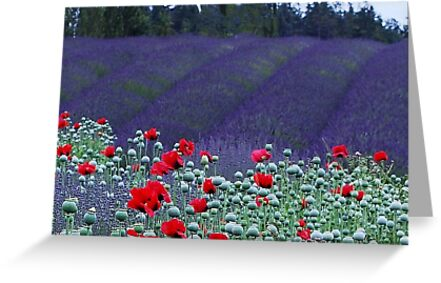 Poppies in the Lavender fields by Marjorie Wallace