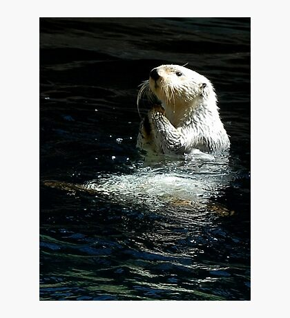 Sea Otter shaking up his dinner Photographic Print