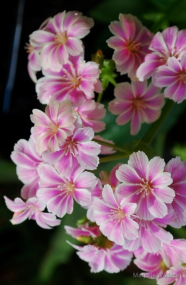 Pink Lewisia by Marjorie Wallace