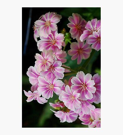 Pink Lewisia Photographic Print