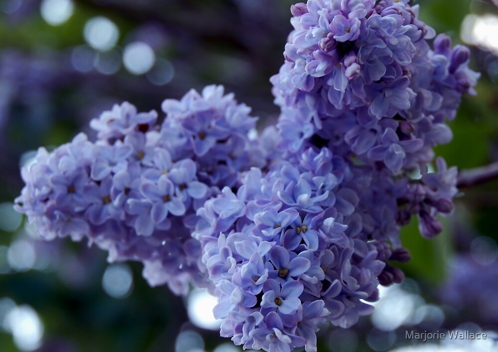 Oooh, the sweet scent of Lilacs by Marjorie Wallace