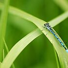 Blue damselfly by SweetLemon