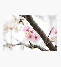 Pink Japanese Cherry Blossoms Photographic Print