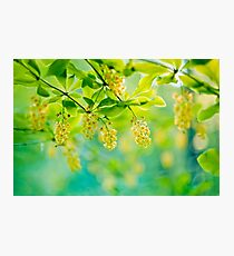 barberry, blooming shrub - soft focus Photographic Print