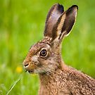 Brown Hare by Stephen Miller