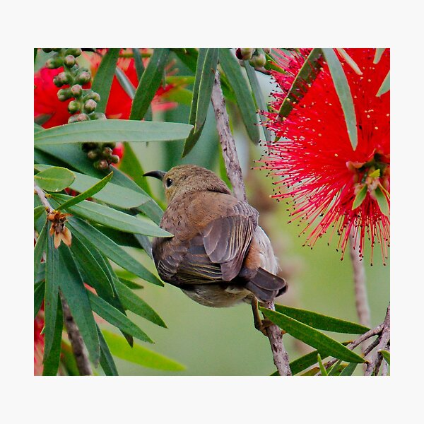 SC ~ HONEYEATER ~ Scarlet Honeyeater 4mLqypBS by David Irwin 230321 Photographic Print