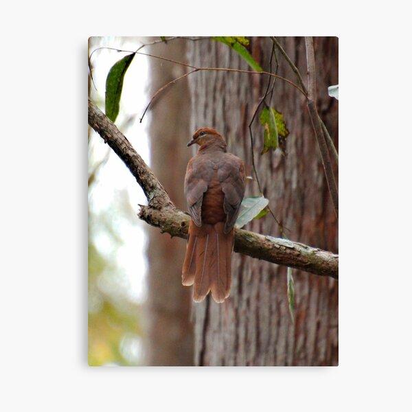 SC ~ DOVE ~ Brown Cuckoo-Dove SABF46HG by David Irwin 230321 Canvas Print