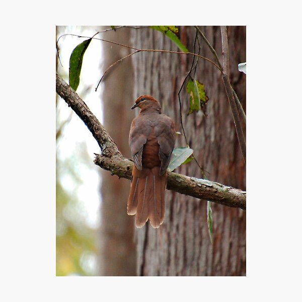 SC ~ DOVE ~ Brown Cuckoo-Dove SABF46HG by David Irwin 230321 Photographic Print