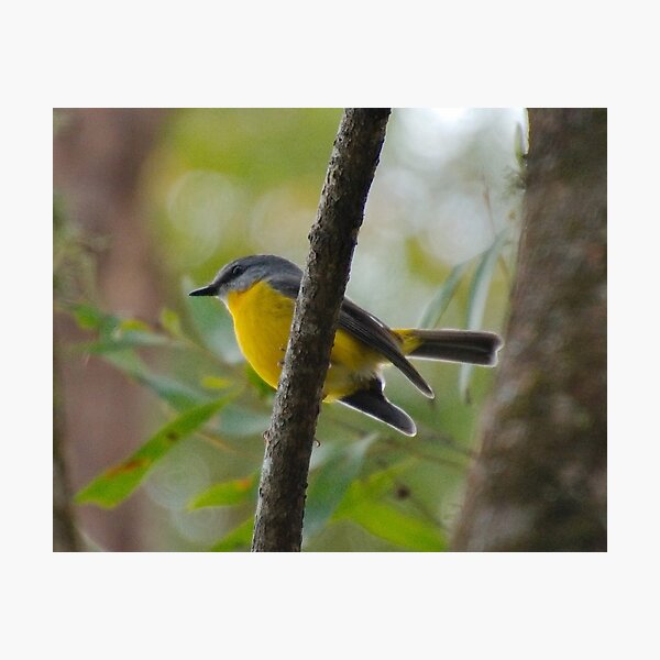 SC ~ ROBIN ~ Yellow Robin GHTdBPn3 by David Irwin 230321 Photographic Print