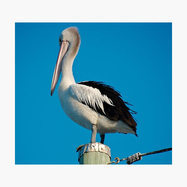 SC ~ MARINE BIRD ~ Australian Pelican 8JKC3396 by David Irwin 230321 Photographic Print