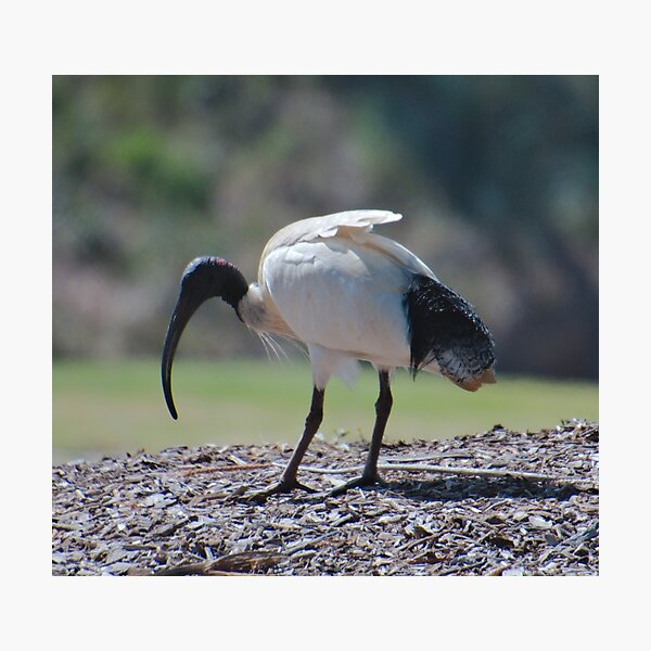 SC ~ IBIS ~ Australian White Ibis 99SbdhxB by David Irwin 230321 Photographic Print