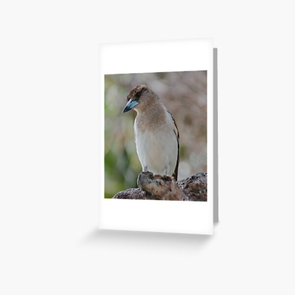ARTAMIDAE ~ SC ~ Pied Butcherbird B3EXTL2G by David Irwin 230321 Greeting Card