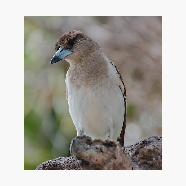 ARTAMIDAE ~ SC ~ Pied Butcherbird B3EXTL2G by David Irwin 230321 Photographic Print