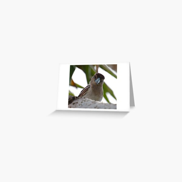 ARTAMIDAE ~ SC ~ Pied Butcherbird X74XDRTD by David Irwin 230321 Greeting Card