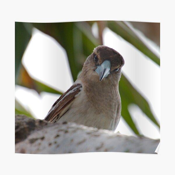 ARTAMIDAE ~ SC ~ Pied Butcherbird X74XDRTD by David Irwin 230321 Poster