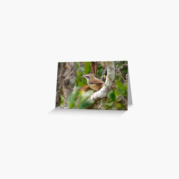 SC ~ WREN ~ White-browed Scrubwren xUAQF4G4 by David Irwin 230321 Greeting Card