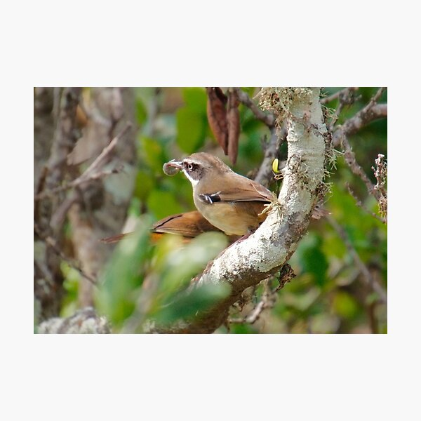 SC ~ WREN ~ White-browed Scrubwren xUAQF4G4 by David Irwin 230321 Photographic Print