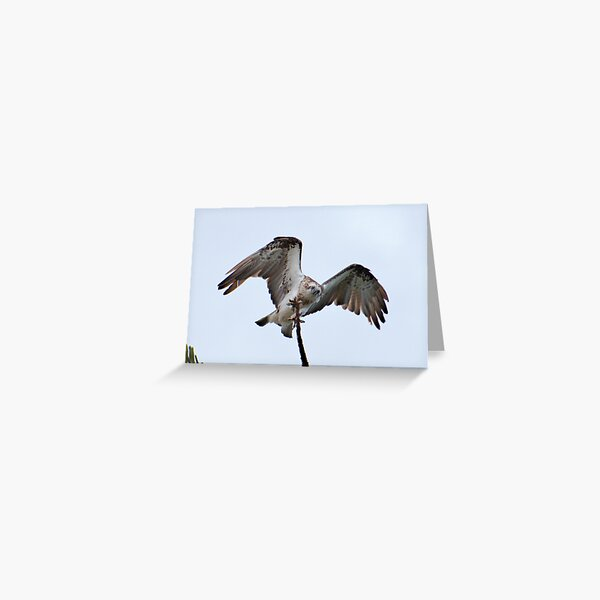 RAPTOR ~ SC ~ Eastern Osprey NYLQPTSV by David Irwin 230321 Greeting Card