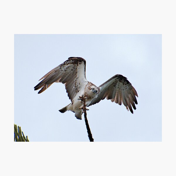 RAPTOR ~ SC ~ Eastern Osprey NYLQPTSV by David Irwin 230321 Photographic Print