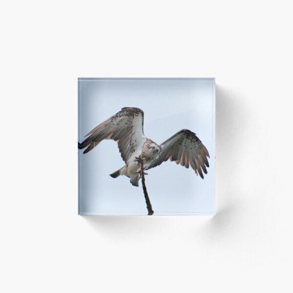 RAPTOR ~ SC ~ Eastern Osprey NYLQPTSV by David Irwin 230321 Acrylic Block