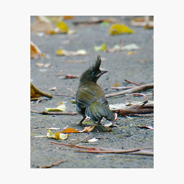 SC ~ WO ~ Eastern Whipbird MZs9Wnf4 by David Irwin 230321 Photographic Print