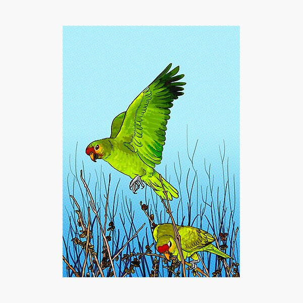Red-lored amazon parrot Photographic Print