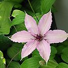 Curly Clematis by Monnie Ryan