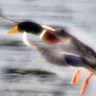 Fast Mallard Icy Landing by JohnYoung