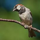 Male House Sparrow Perched in a Tree by Jeff Goulden