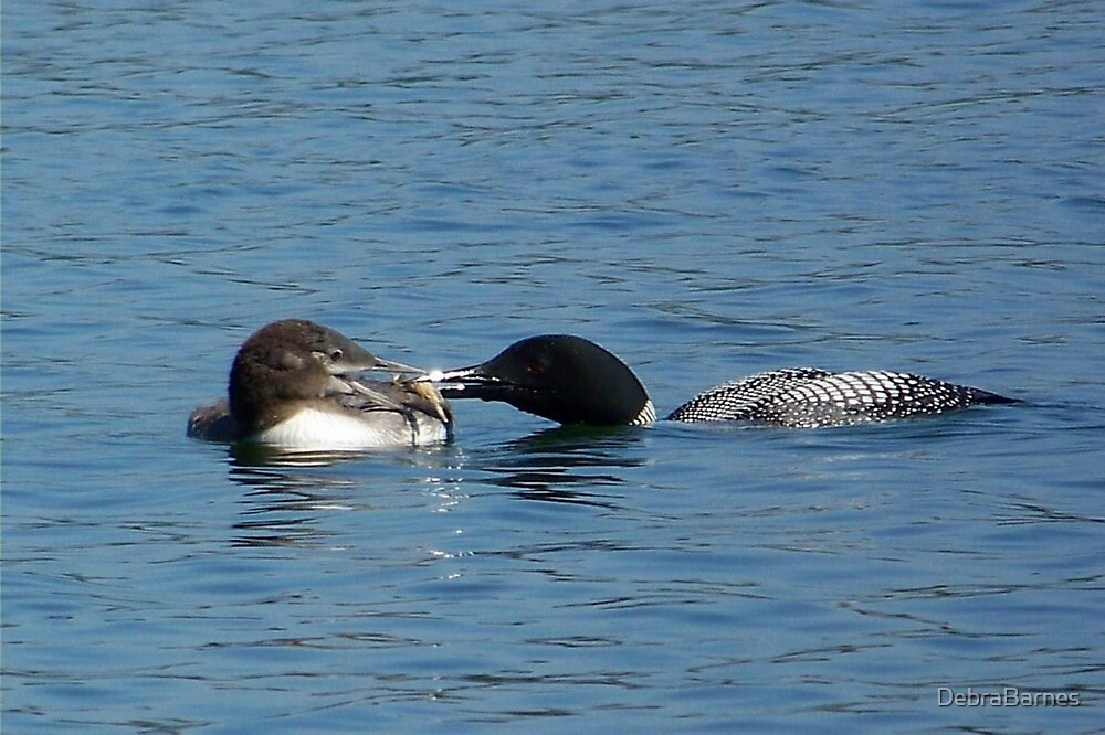 Loons at Feeding Time by DebraBarnes