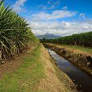 Cane fields Condon  by sarcalder