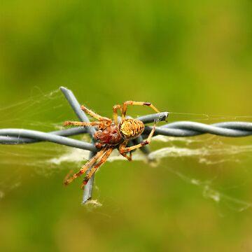 Orb Weaver Spider on a Barb by rhamm