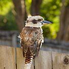 Backyard kookaburra by sarcalder